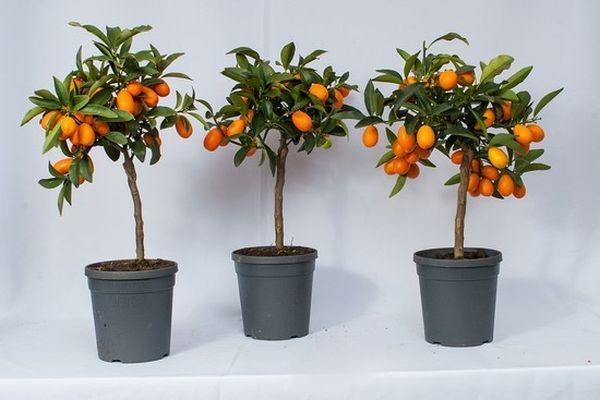 Фортунелла – очень влаголюбивое растение