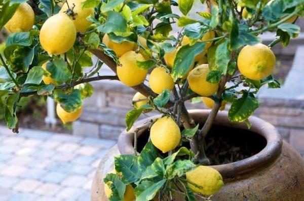 Комнатный лимон может стать украшением дома