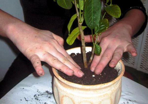 Без своевременной пересадки цитрусовые могут не цвести