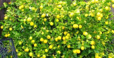 Лимон можно успешно выращивать дома