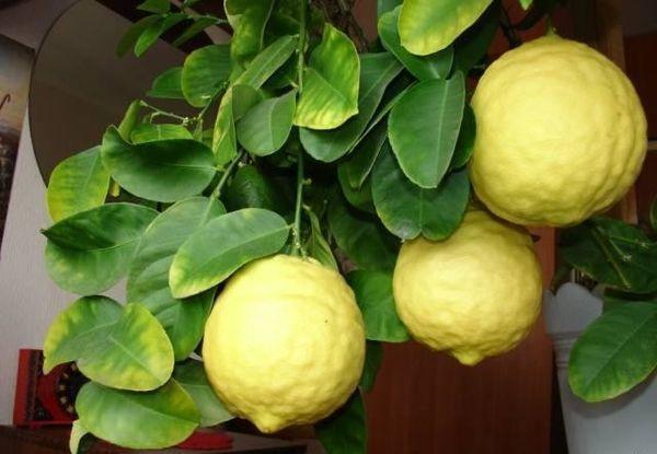 Популярный сорт лимона Пандероза