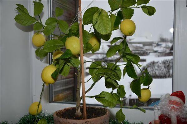 Павловский лимон – сорт народной селекции