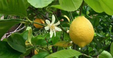 Лимон можно выращивать дома