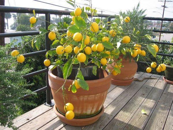 Взрослый домашний лимон дает много плодов