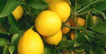 Гибридное растение лимон Мейера