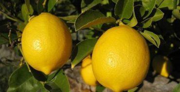Сорт домашнего лимона Павловский