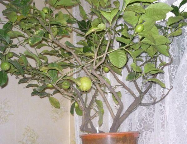 Популярный сорт домашнего лимона - Павловский