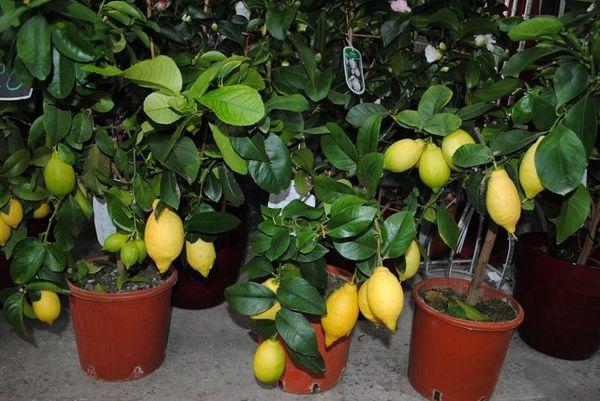 Не забывайте подкармливать взрослый лимон