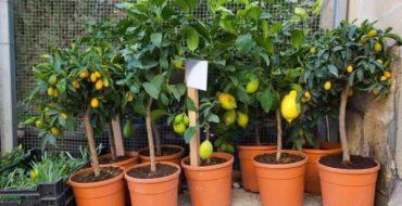 Комнатный лимон - популярное растение
