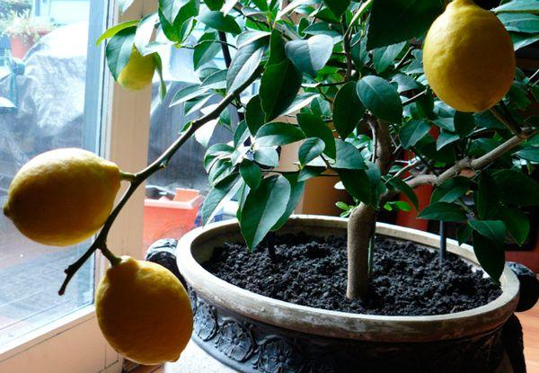 Лимон не терпит застаивания влаги в вазоне