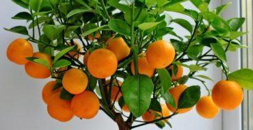 Мандарин можно выращивать дома