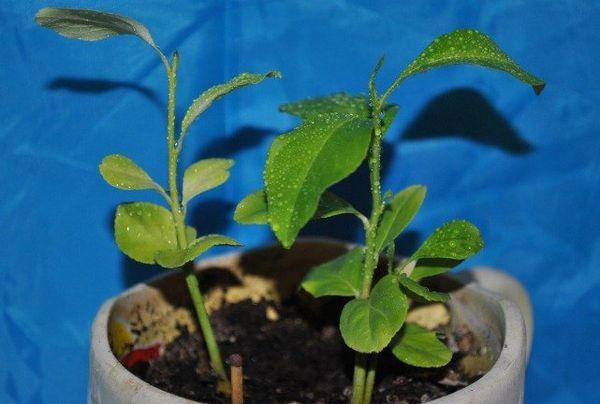 Цитрусовые растения любят влажность