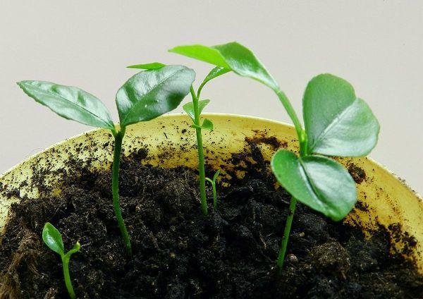 Как вырастить мандарин из косточки в домашних условиях 823