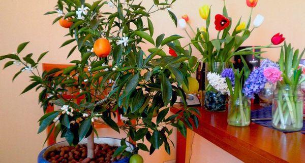 Мандарин как культура – это вечнозеленое растение