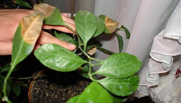 Из-за пересыхания почвы может пожелтеть листва
