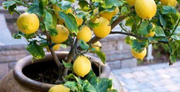 Выращивание лимона в домашних условиях