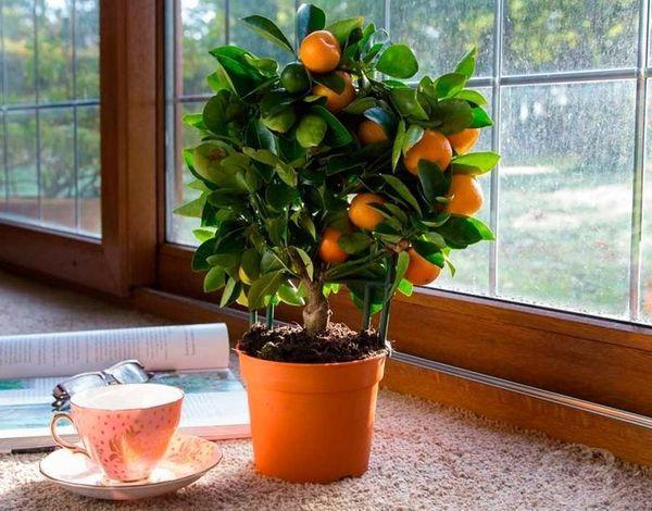 Из косточки в домашних условиях нетрудно вырастить мандарин