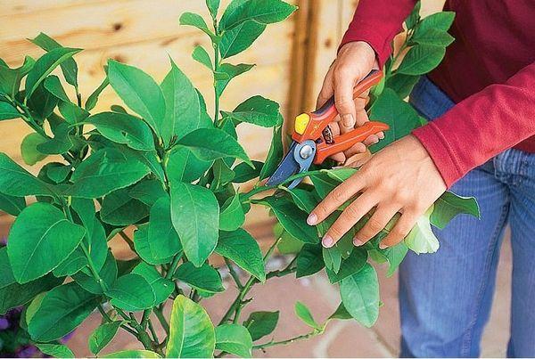 Формируют крону дерева в первый год жизни