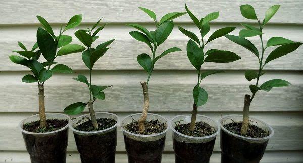 Весной растения пересаживают в новый горшок