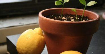 Комнатному лимону нужен правильный грунт