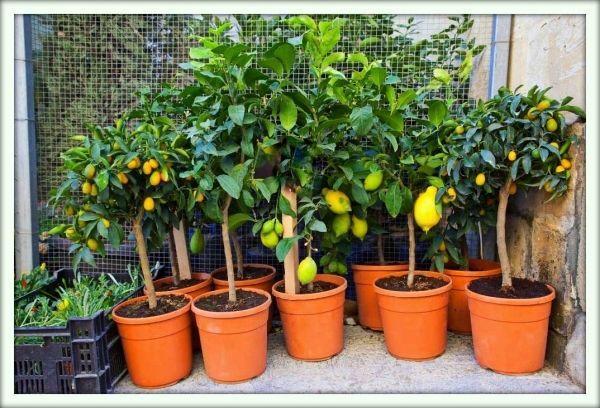 Правильный грунт будет способствовать росту лимона
