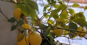 Листья лимона часто опадают из-за вредителей