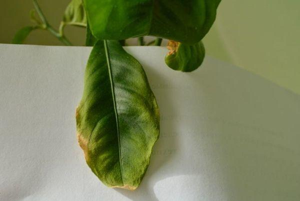 Нередко листья лимона желтеют из-за неправильного ухода