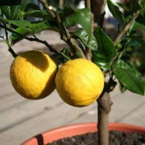 Многие цветоводы выращивают лимоны в доме