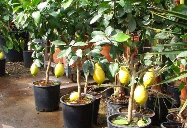 Выращивание лимонов в квартире вполне возможно