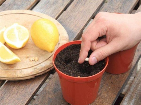 Сажать косточку лучше в готовую почвенную смесь