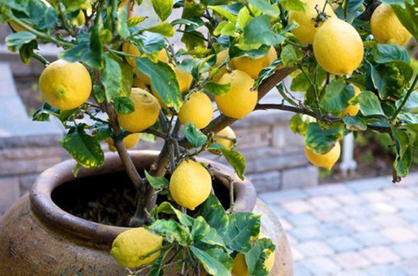 Летом цитрусовые часто выносят на свежий воздух