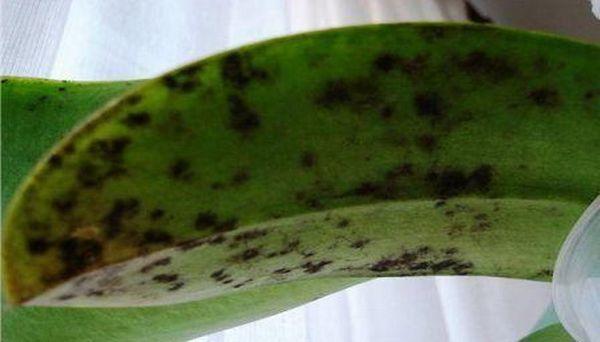 Домашний лимон подвержен болезни сажистый грибок.