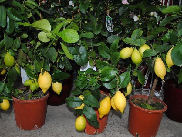Лимоны без подкормок чаще болеют