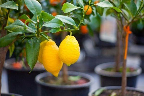 Правильная посадка обеспечит хорошую урожайность лимона