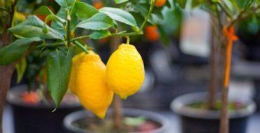Лимон несложно вырастить в доме