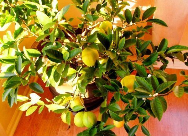 Лимон дома можно вырастить из косточки или из черенка