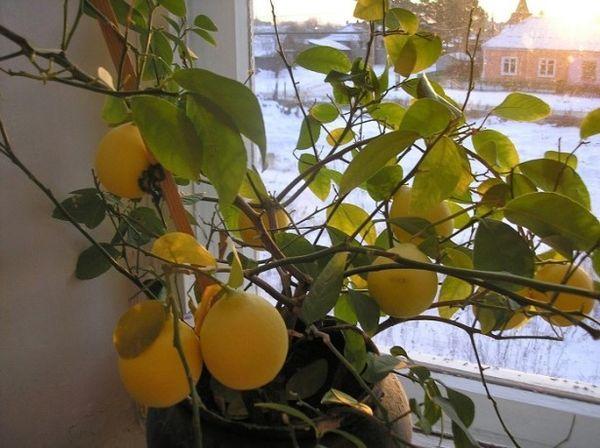 Взрослые лимоны пересаживают через 2–3 года