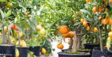 Вечнозеленое цветущее и плодоносящее мандариновое дерево