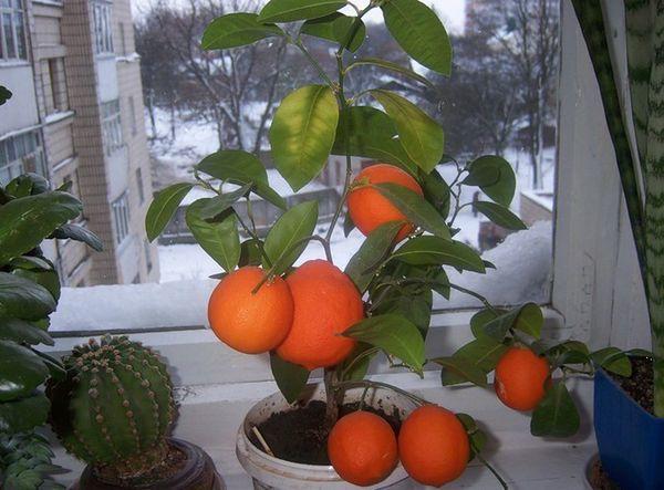 Популярный сорт домашнего мандарина Шива-Микан