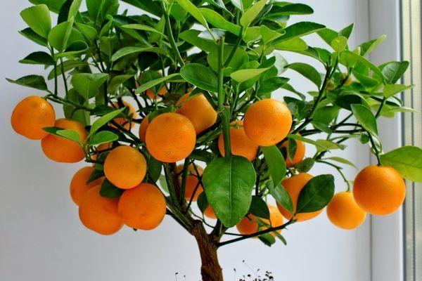 Домашний мандарин не переносит сухого воздуха