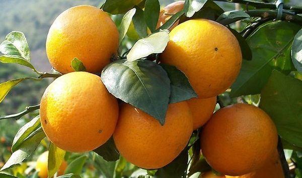 Citrus nobilis - индокитайско-малайская сортовая группа