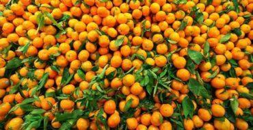 Апельсиновое дерево можно вырастить дома