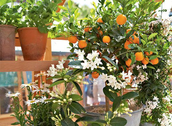 Нужно проводить регулярную обрезку апельсина