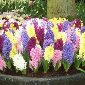Гиацинты выращивают как в саду, так и на подоконнике