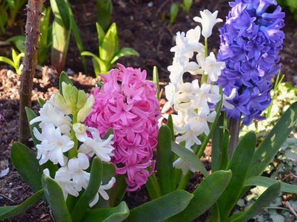 Гиацинты могут расти в горшке или в открытом грунте