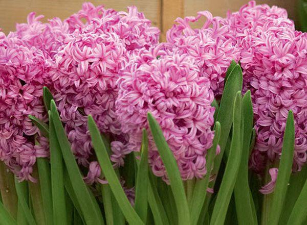 Первые цветения гиацинта характеризуются обильностью