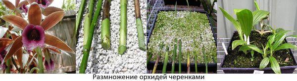 Как размножить орхидею в домашних условиях: черенкование, деление куста 78