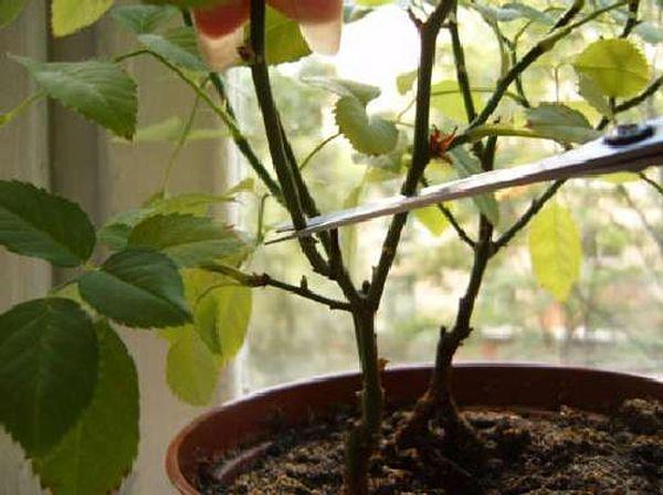 Китайская роза обрезка и формирование куста