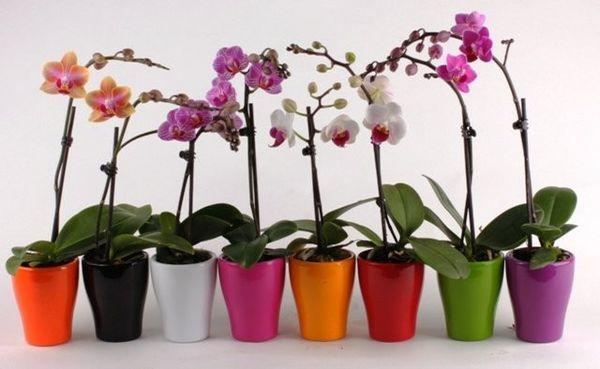 Освещение для Phalaenopsis должно быть яркое