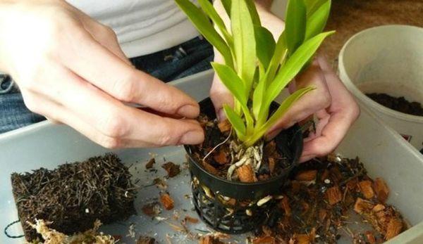 Phalaenopsis болезненно реагирует на пересадки